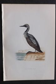 Morris 1870 Antique Bird Print. Black Throated Diver